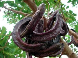 Frucht des Johannisbrotbaums