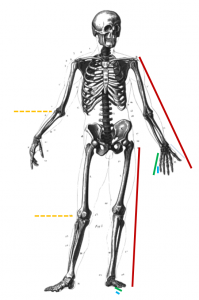 /var/cache/html/dhlehre/html/wp content/uploads/2016/12/1481026936 Skelett